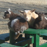 Goats on picnic table 4